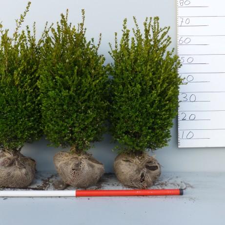 Faulkner buxus haag 60-70cm