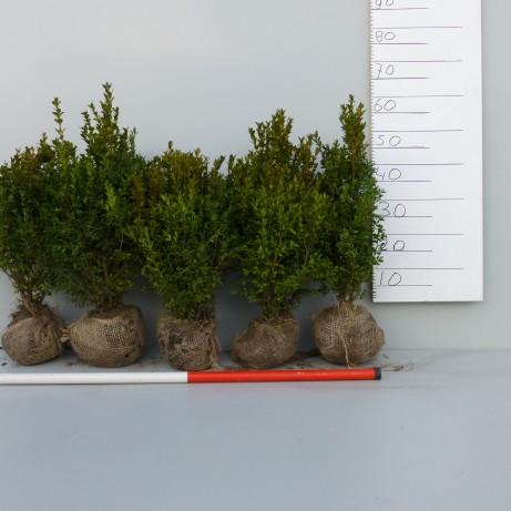 Sempervirens haagplanten 40-50cm