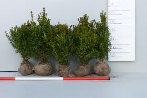 Zeer mooie haagplanten buxus