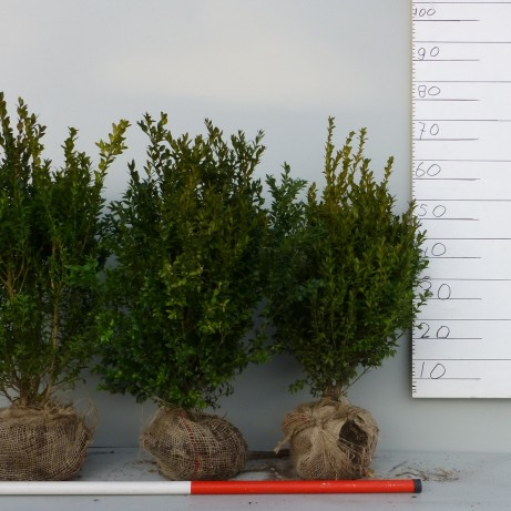 Buxus haag 50cm