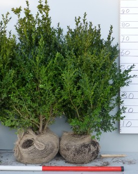 Buxus haag 70-80 cm. Voor een perfecte haag